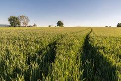 Campo de trigo con las pistas del tractor Fotos de archivo libres de regalías