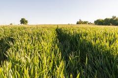 Campo de trigo con las pistas del tractor Foto de archivo