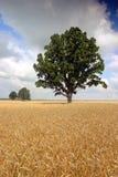 Campo de trigo con los árboles Foto de archivo libre de regalías