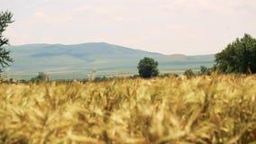Campo de trigo con los árboles y las montañas en el fondo soplado por el viento suave almacen de video