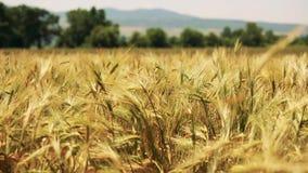 Campo de trigo con los árboles y las montañas en el fondo soplado por el viento suave - trigo en foco almacen de video