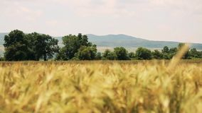 Campo de trigo con los árboles y las montañas en el fondo soplado por el viento suave - fondo en foco almacen de metraje de vídeo