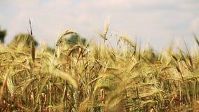 Campo de trigo con los árboles y las montañas en el fondo soplado por el viento suave - visión ascendente cercana almacen de metraje de vídeo