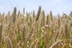 Campo de trigo con un cielo azul claro y algunas nubes fotografía de archivo