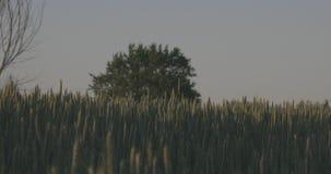 Campo de trigo contra árbol almacen de metraje de vídeo