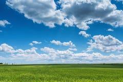Campo de trigo contra el cielo azul con las nubes blancas La agricultura scen Imagen de archivo libre de regalías