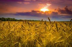 Campo de trigo contra el cielo dramático Fotos de archivo libres de regalías