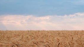 Campo de trigo contra o céu azul com um horizonte nivelado branco Molde para o fundo do projeto de uma colheita de grão alta País fotos de stock royalty free