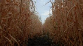 Campo de trigo contra um céu azul, vista inferior Spikelets maduros do trigo e do centeio Trajeto entre o campo de trigo 4K v?deo vídeos de arquivo