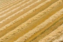 Campo de trigo cosechado con filas de la paja Foto de archivo libre de regalías