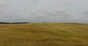 Campo de trigo da vista aérea um céu bonito video estoque