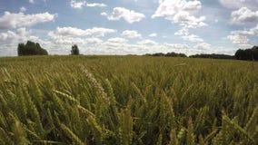Campo de trigo de amadurecimento, lapso de tempo 4K video estoque