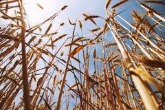 Campo de trigo de baixo com do céu de azuis Fotografia de Stock