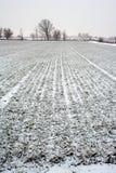 Campo de trigo de invierno Imagenes de archivo