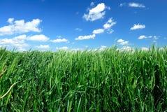 Campo de trigo de invierno Fotos de archivo