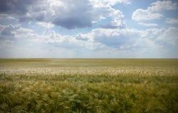 Campo de trigo de la naturaleza Fotografía de archivo libre de regalías