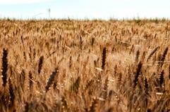 Campo de trigo de oro Fotografía de archivo