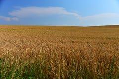 Campo de trigo de oro antes de la cosecha Imagen de archivo