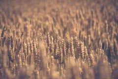 Campo de trigo de oro antes de la cosecha Fotografía de archivo libre de regalías