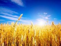 Campo de trigo de oro con el cielo azul Fotos de archivo libres de regalías