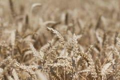 Campo de trigo de oro de la cosecha de grapa en el tiempo de la acción de gracias en otoño Fotografía de archivo libre de regalías