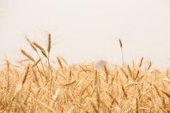 Campo de trigo de oro en la India Imagenes de archivo