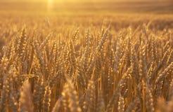 Campo de trigo de oro en la puesta del sol Fotografía de archivo