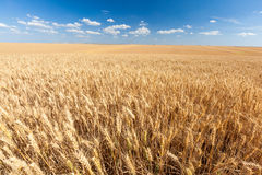 Campo de trigo de oro listo para la cosecha con el cielo azul Fotografía de archivo libre de regalías