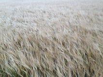 Campo de trigo de oro que hace frente lejos de cámara Foto de archivo libre de regalías