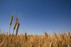 Campo de trigo de oro y cielo azul Foto de archivo libre de regalías