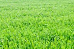 Campo de trigo de primavera Foto de archivo libre de regalías
