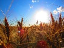 Campo de trigo de Sunkissed Foto de archivo libre de regalías
