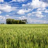 Campo de trigo debajo de un cielo con las nubes Imágenes de archivo libres de regalías