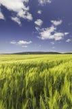 Campo de trigo debajo de un cielo nublado azul fotografía de archivo