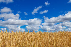 Campo de trigo debajo del cielo azul con las nubes Imagen de archivo