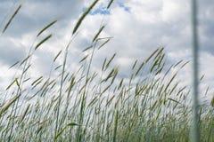 Campo de trigo debajo del cielo nublado azul en el pueblo Imágenes de archivo libres de regalías