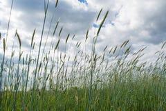 Campo de trigo debajo del cielo nublado en el pueblo Fotos de archivo