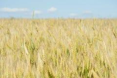 Campo de trigo del oro fotos de archivo