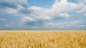 Campo de trigo del oro del maíz y cielo azul con las nubes almacen de video