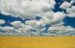 Campo de trigo del oro y cielo azul Imágenes de archivo libres de regalías