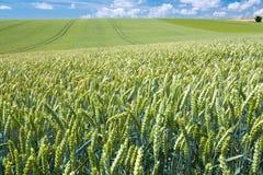 Campo de trigo del país del verano imágenes de archivo libres de regalías