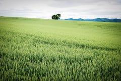 Campo de trigo del verano Fotografía de archivo