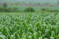Campo de trigo después de la lluvia Fotos de archivo
