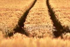 Campo de trigo do foco como um fundo foto de stock