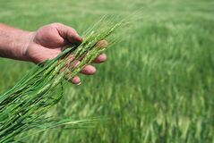 Campo de trigo do inverno Imagem de Stock Royalty Free