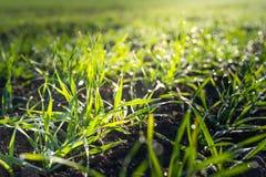 Campo de trigo do inverno Fotografia de Stock