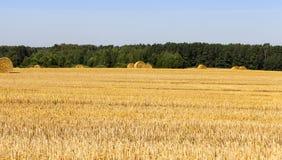 Campo de trigo do ouro Fotografia de Stock Royalty Free