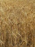 Campo de trigo do ouro imagens de stock royalty free