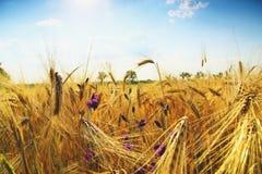 Campo de trigo do ouro e céu azul Foto de Stock