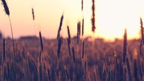 Campo de trigo do verão na luz solar morna video estoque
